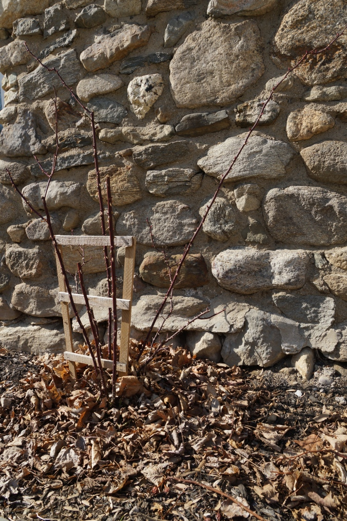 Pruned rose bush. This bush will be trained to climb the stone wall this year.